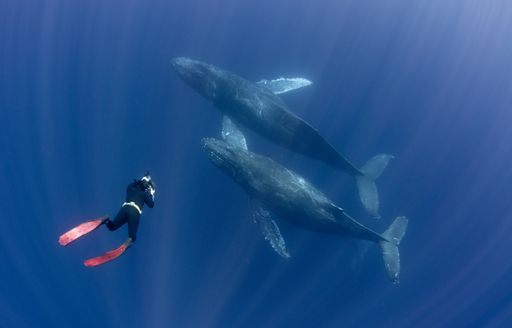 humpback whales in central america, diver alongside