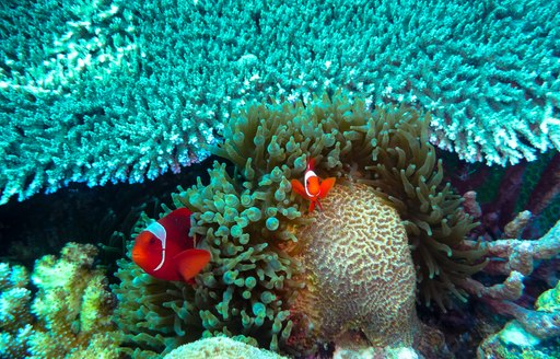 clownfish emerging from bright blue coral reef in papua new guinea