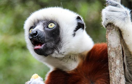 A white haired lemur looks to the sky whilst grasping a brand with its left hand