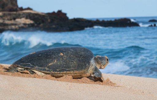 Green turtle in the sandy beach on Ascension Island, with sea in background
