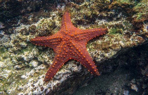 A red starfish lies under the water in the Galapagos