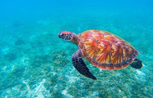 hawksbill turtle swimming in indian ocean around thanda island