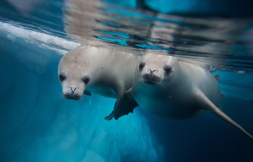 two seals swimming in the clear waters of Antarctica