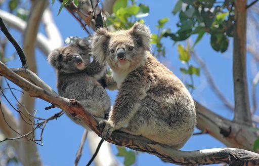Koala and its baby in a tree at an Australian zoo