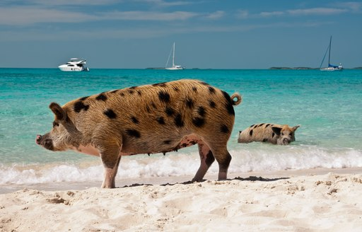 Pigs standing on Pig Beach in the Bahamas, with charter yachts at anchor in the azure sea