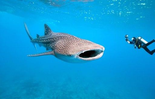man swims next to whale shark off the coast of Thanda Island