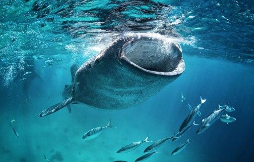 Sharks in Seychelles