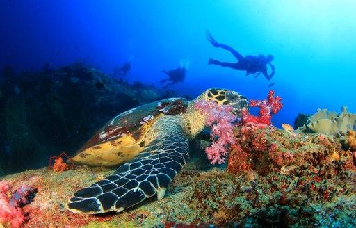 Scuba diver and sea turtle in the Caribbean sea