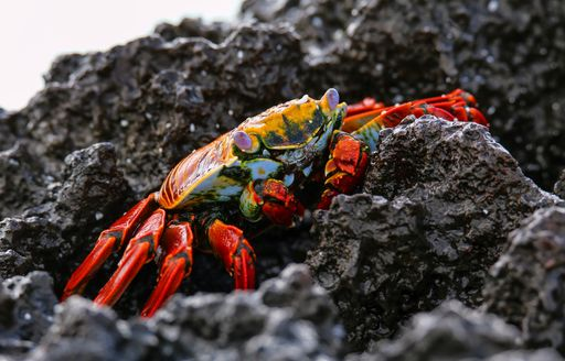 Sally Light-footed crab on Gardner Bay in the Galapagos