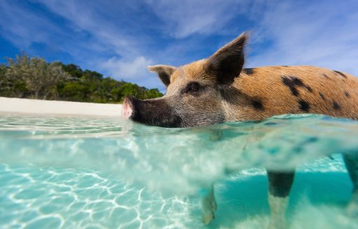 pig beach in the exumas, little pig in the shallow clear water