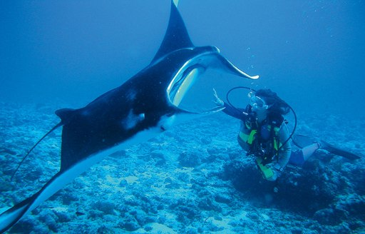 Seychelles manta ray