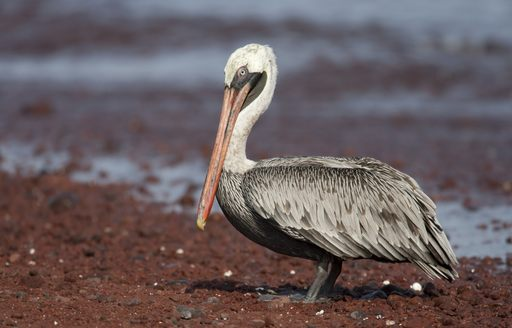 A brown pelican in the Galapagos