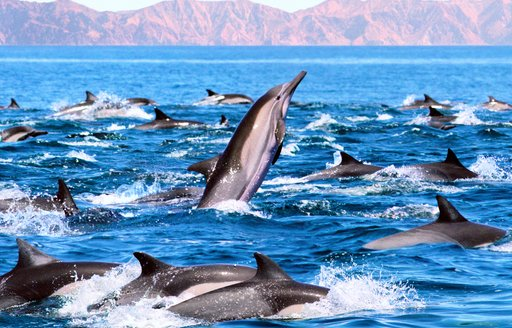 Number of dolphins leaping from the sea