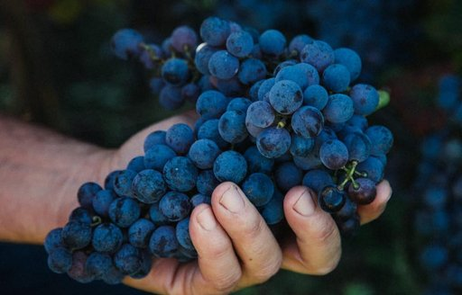 A man's hand holding a bunch of red grapes from Sardinia
