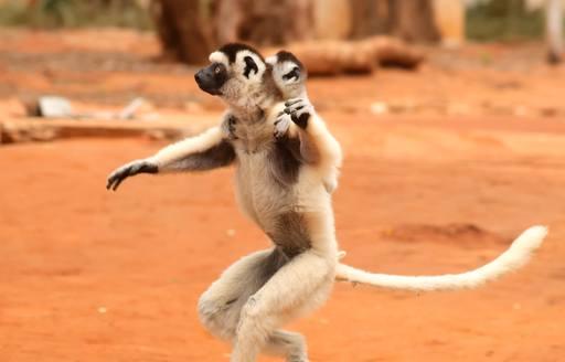 lemur on dry earth in madagascar