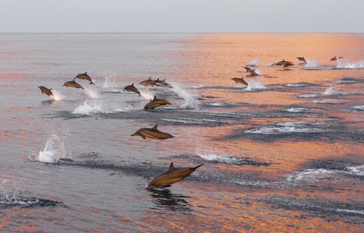 Lots of dolphins jumping from the water
