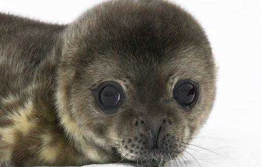 fluffy seal with big eyes