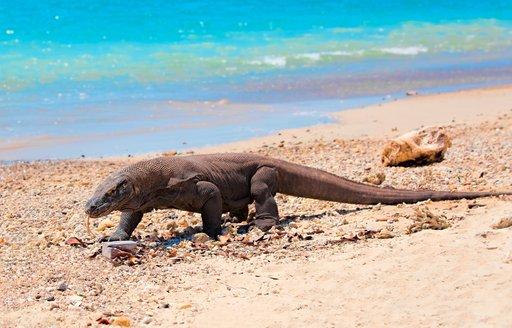 a komodo dragon walks along a sandy beach in the Komodo National Park