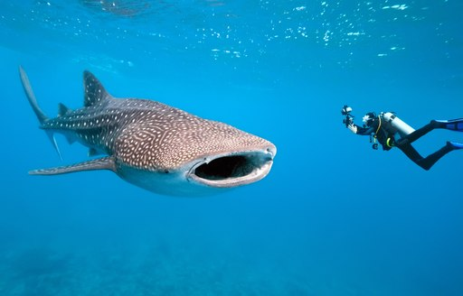 Large whale shark, with scuba diver nearby