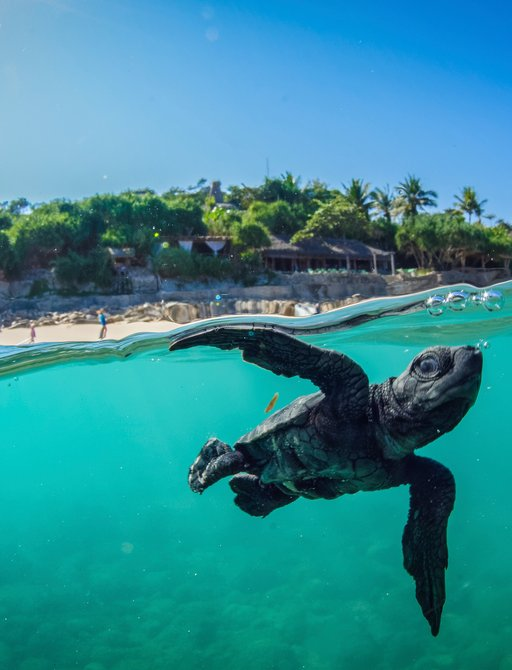 Turtle in blue water of Indonesia