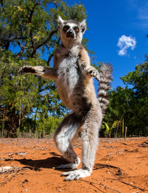 A forward facing lemur stands on its hind legs with its arms outstretched