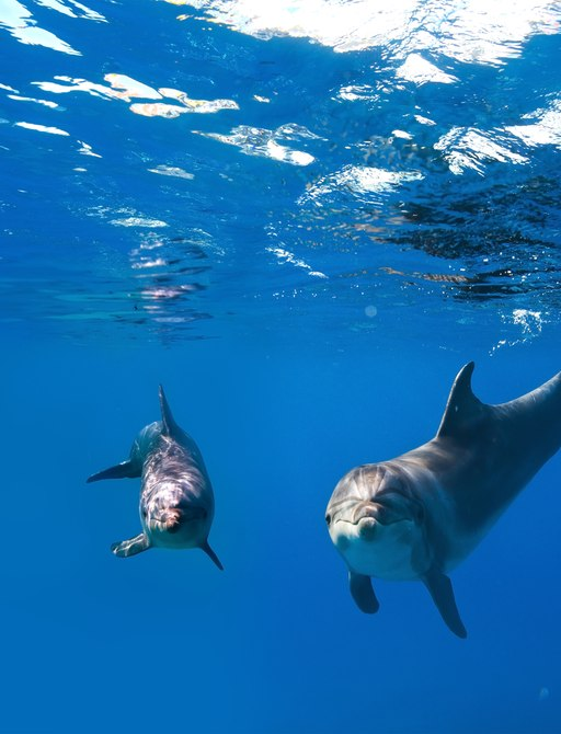 two dolphins in the water in cornwall