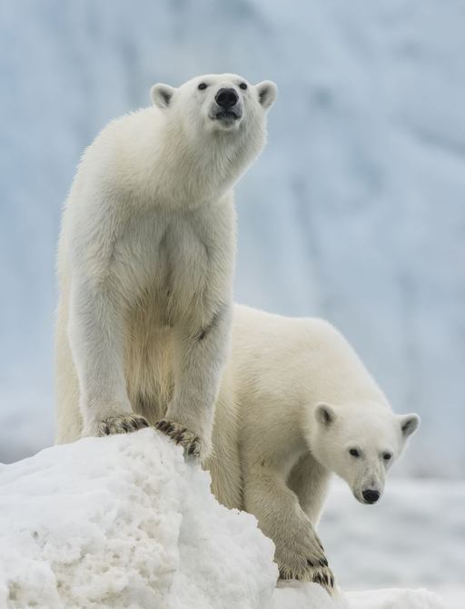 polar bears on ice in svalbard islands norway