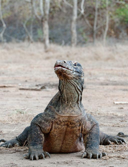 Komodo Dragon on the island of Komodo in Indonesia