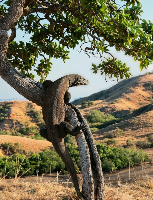 Komodo dragon climbs a tree on the island of Komodo