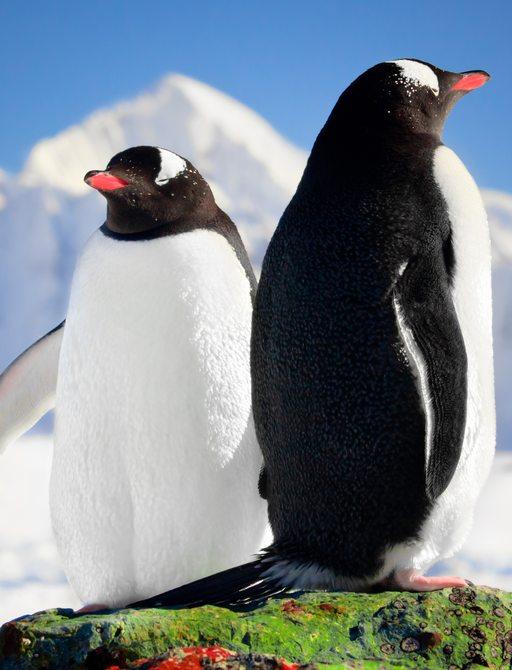fluffy penguins in antarctica