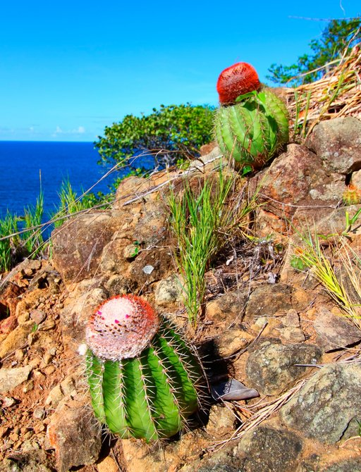 cacti grown on a rugged hillside in the British Virgin Islands