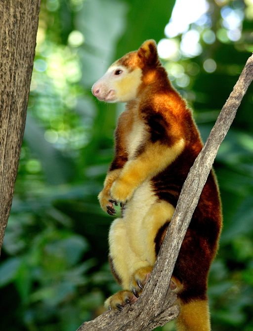 lemur in branch of tree in jungle in papua new guinea