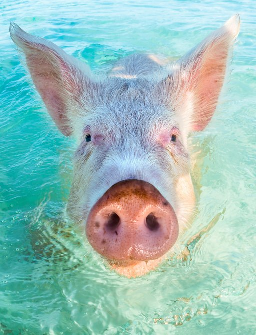 Pigs swimming in the Bahamas