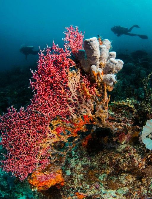scuba diver explores the colourful marine life in Komodo, Indonesia