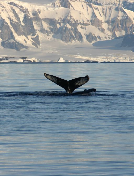Tail of humpback whale above water with Arctic landscape in background