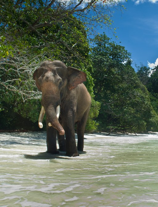 elephant walks on the shores of the andaman islands
