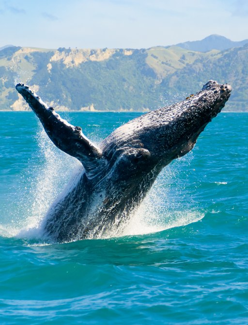 humpback whale breaches surface of sea in south pacific islands