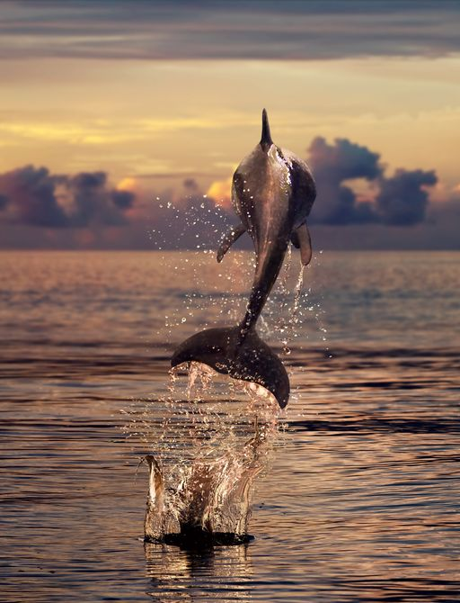 Dolphin jumping from water at sunset