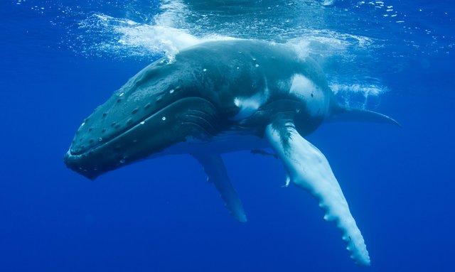 Whale Watch in Tahiti Aboard S/Y RAPTURE
