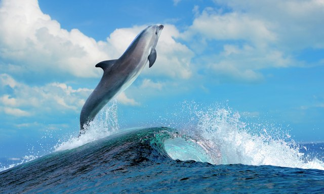 Dolphin jumping out of the water in the Madlives