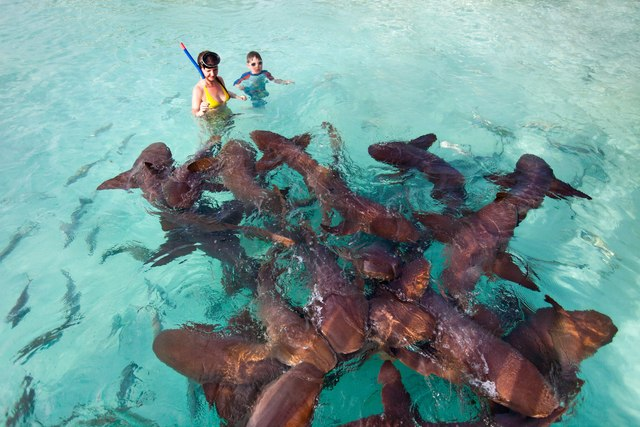 The nurse sharks of Compass Cay