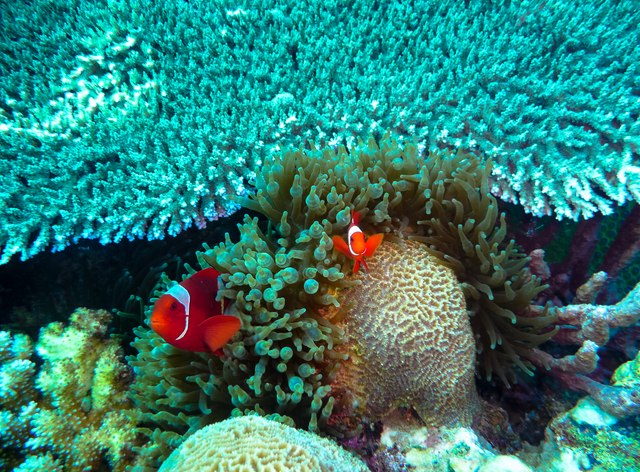 Clown fish peaking out of reef in Papua New Guinea
