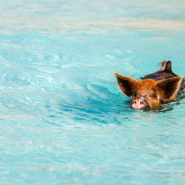 Swim with pigs at Staniel Cay