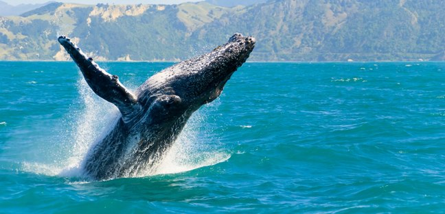 Encounter the Gentle Giants of the Pacific Ocean