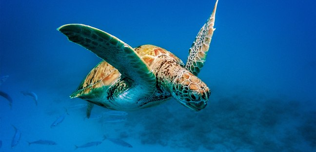 Meet the Sea Turtles of the Barbados
