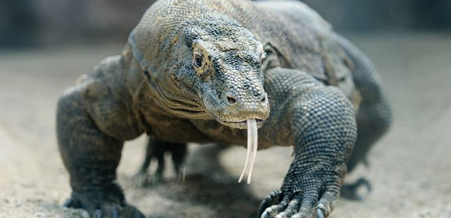 Komodo photo 4