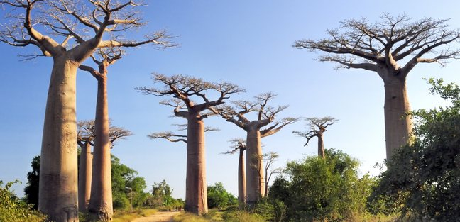 The Avenue or Alley of the Baobabs