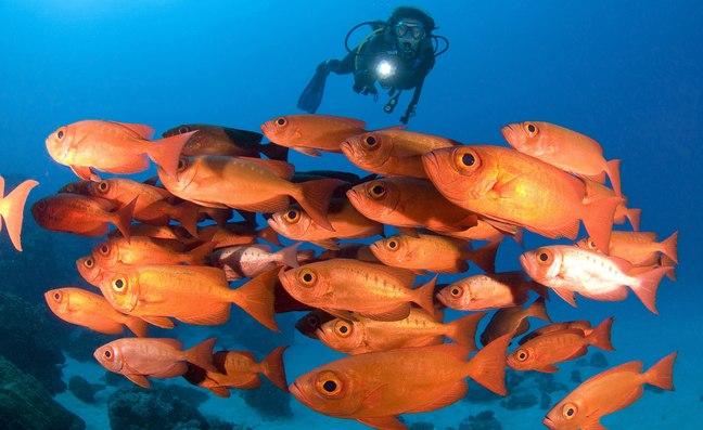 Scuba diver swims with school of orange fish in Palau