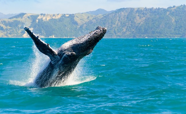 Spot Majestic Whales in New Zealand