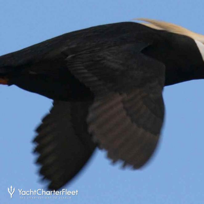 Surfbird photo 35